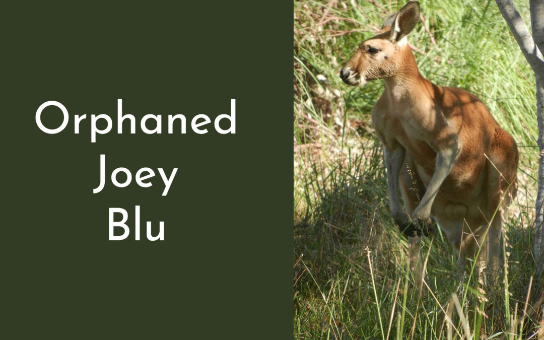 Orphaned Joey Blu