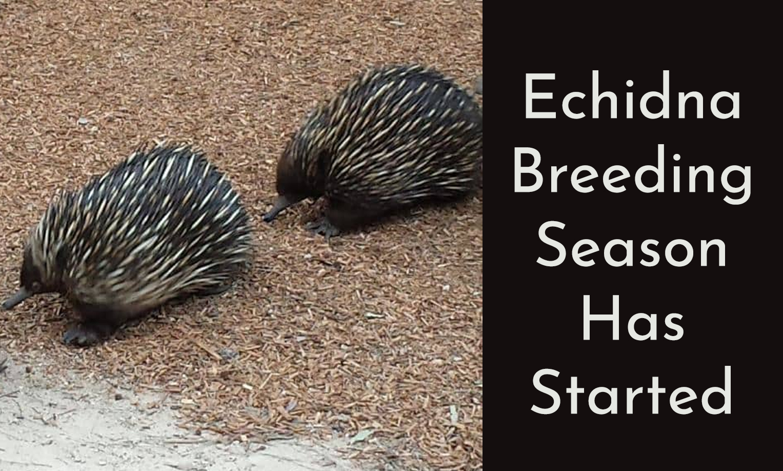 Echidna breeding season has started